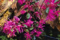 'Zhuzhou Fuchsia'  grows to 12 feet and may be the tallest available. It is a good specimen for a hedge or can be trained into a graceful specimen tree. Its blackish-maroon foliage is among the darkest and holds its color well in summer heat.