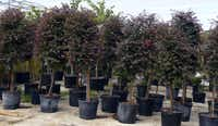 Some local nurseies, including Covington's in Rowlett and The Flower Ranch in Southlake, stock fringe flowers that already have been trained into specimen trees to be used as a focal point.