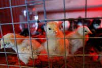 Dozens of baby chicks are for sale at Gecko Hardware, where King George rules the roost.Mona Reeder  -  Staff Photographer