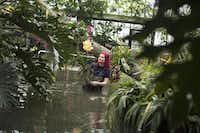 Horticulturist Ellie Biondi arranged plants that delighted visitors during the Orchid Festival at the Royal Botanic Gardens at Kew.Oli Scarff  -  Getty Images