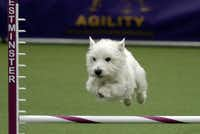 A West Highland White Terrier grabs some hang time.TIMOTHY A. CLARY - AFP/Getty Images