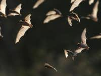 In this photo taken Sept. 1, 2011, some of the 20 million bats emerge from Bracken Cave in Bracken, Texas. A depleting insect population has forced millions of bats around drought-stricken Texas to emerge before nightfall for food runs, making them more susceptible to natural predators. Some experts have already noticed fewer bats emerging from caves and have seen evidence that more infant bats are showing up dead, hinting at a looming population decline.