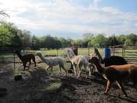 <TypographyTag15>Telisak's alpacas</TypographyTag15> (from right) Jameson, Micah, Boaz, Merit, Moonstruck, Courage and Solomon, race to be first at their feeding bowls. They're a part of the herd at Jacob's Reward, Telisak's fiber farm.Staff photo by EDEN STIFFMAN