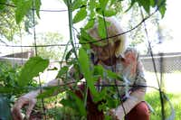 Beverly Michelsen pulls weeds from her tomato plant in her backyard in Serendipity Village. Neighborhoods Serendipity Village, Lakewood North and Lakeland Terrace ranked to be the best quality per dollar in the Lewisville and Flower Mound areas, according to an analysis by The Dallas Morning News.