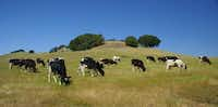 """""""Just like wine's terroir, our climate, temperature and natural bacteria make a difference,"""" says Vella Cheese's Gabe Luddy.Michael Kamerick   -  Special Contributor"""