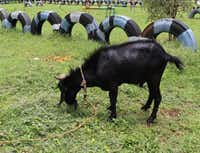 This goat did NOT want me to mess with him. He's bigger than he looks.Joy Tipping  -  Staff
