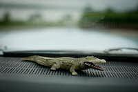 A rubber alligator, Badu's lucky charm