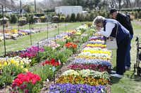 Sandra Timmermans and Jim Mayfield photograph a variety of flower beds during the Dallas Blooms floral festival, on Wednesday, March 19, 2014 at the Dallas Arboretum in Dallas.Ben Torres - Special Contributor