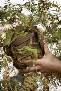 The rabbit's-foot fern's furry rhizomes add to its interest.Tony Cenicola -  The New York Times