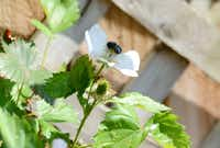 A bright blue honey bee gets nectar from Carol Garrison and Daniel Bell's home garden in Garland.ROSE BACA - neighborsgo staff photographer