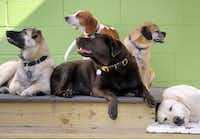 While their vacationing owners relax and socialize, boarded dogs at Stay can do the same.Lloyd Fox  -  The Baltimore Sun