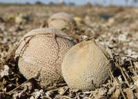 In mid-October, the FDA said it had found Listeria monocytogenes in cantaloupe samples taken from Jensen Farms' packing facility.