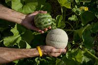 Two varieties of Italian melons are among the plants watered by drip irrigation.