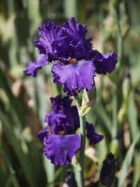 'Murder Mystery' iris by Paul BlackRon Baselice  -  Staff Photographer