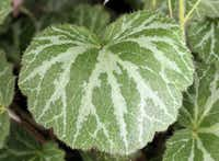 The silvery markings on the top of the strawberry geranium's leaves and the reddish undersides give this plants its ornamental reputation.