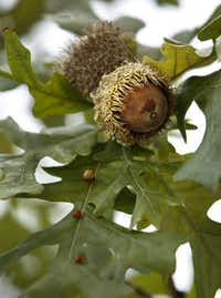 Bur Oak Acorns on a tree at Klyde Warren Park on October 22, 2012.