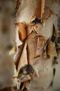 Peeling paper like on Birch tree trunk at Klyde Warren Park on October 22, 2012.