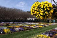 The Dallas Arboretum found Cool Wave trailing pansies are ideal for cool-season hanging baskets.