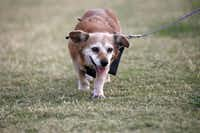 Matt Wixon walking his dog Maggie, in Plano on May 21, 2012.