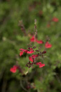 Salvia greggii is the most popular nectar choice for Texas hummingbirds, according to citizen science data.