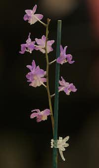A Dor. buyssoniana orchid was up for auction at North Haven Gardens.