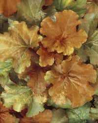 'Creme Brulee' is considered one of the best bronze-leaf introductions.