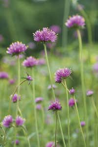 Gomphrena 'Fireworks, also known as globe amaranth, produces strong, tall stems topped with bursts of pink flowers tipped with yellow. Gomphrenas thrive in hot weather and tolerate dry soil. It is also an everlasting, meaning a flower that is dried for indoor arrangements.