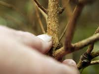Gardeners should scrape the outer bark layer of a woody shrub to check for green under the top layer to see if the plant survived the winter.
