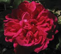 Introduced in 1868, the large, globular blooms of 'Maurice Lepelletier' are dark red.