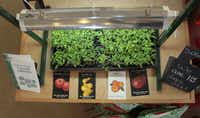 A heat mat is crucial for keeping the soil warm enough for seeds to germinate. Later, the seedlings need a grow light to provide the daily intense sunlight they cannot get on a windowsill.