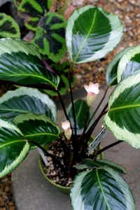 Calathea plantNATALIE CAUDILL -  Staff Photo