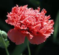 These pink, ruffled poppies bloom year after year at Clark Gardens Botanical Park in Weatherford.
