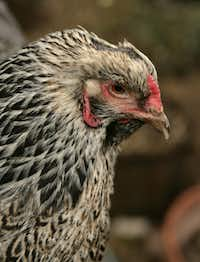During a particularly cold December several years ago, Violet burned the feathers off her head on a heat lamp.