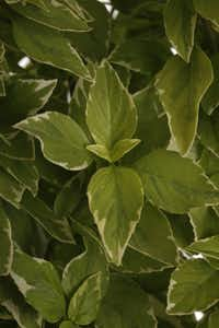 'Pesto perpetuo', a citrus-flavored basil, is also valued for its ornamental variegated leaves.