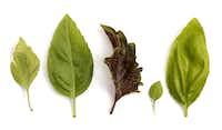 From left: 'Pesto perpetuo', sweet basil, 'Purple Ruffles', 'Boxwood', and lemon basil