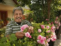 Raul Reyes lavishes love on the 'Seven Sisters' rose in his daughter's front yard.