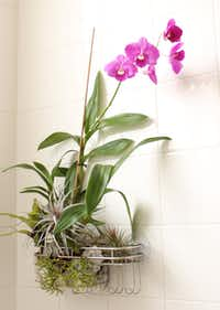 """Steve Asbell, author of """"Plant by Numbers: 50 Houseplant Combinations to Decorate Your Space,"""" has devised a fresh valentine: a container garden in a shower caddy."""