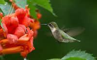 A ruby-throated hummingbird feeds on trumpet vine flowers.