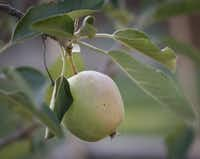 Kristen Shear and her husband Mark Shear have an apple tree in their small back yard garden in Richardson.
