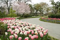 Hanami, or cherry blossom viewing, will be from 12:30 to 2:30 p.m. Sunday at the Dallas Arboretum's Pecan Grove.Dallas Arboretum - Digital File_UPLOAD