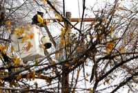 Oncor lineman Flavio Arellano replaced a cross bar atop a utility pole after ice-laden tree limbs fell on it during the December 2013 winter storm.Tom Fox  -  Staff Photographer