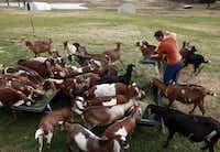 Stephen Hutchins, 18, feeds the family goats alfalfa hay.