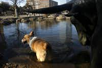 A Corgie named Zoe stands in the water for refreshment at Pioneer Plaza in Dallas January 21, 2007. Her owners Mason and Lauren Cooper say this is her treat before she gets her bath for today.