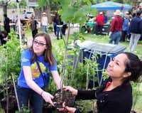 Veronica Jones (left) gave a free red oak sapling to Dallas resident Maria Chagollan during Oak Cliff Earth Day at Lake Cliff Park on Sunday. Jones was volunteering at a booth sponsored by Methodist Dallas Medical Center that gave away trees for people to plant.