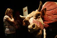 """Autumn Laskey looks a bull during opening day of """"Animals inside out"""" at Perot Museum of Nature and Science in Dallas, Sunday, Sept. 22, 2013."""