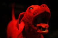"""The blood vessel configuration of a dog during opening day of """"Animals inside out"""" at Perot Museum of Nature and Science in Dallas, Sunday, Sept. 22, 2013."""