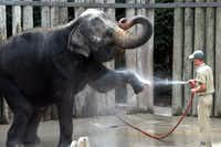 In this file photo from July 31, 2003, Elephant keeper Justin Garrett sprays water into Rasha's mouth as she cools down at The Fort Worth Zoo.