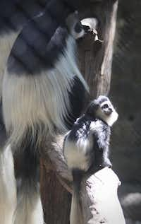 A baby colobus monkey sits on a log with an adult inside their enclosure at the Dallas Zoo.KELLEY CHINN  -  Special Contributor