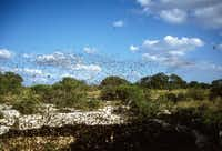 Mexican free-tailed bats swarm from the Devil's Sinkhole each evening to forage for insects. The state natural area is near Rocksprings.Texas Parks and Wildlife