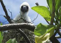 A red-footed booby baby waits for food as his mother hovers nearby in theTuamotu Archipelago in French Polynesia.